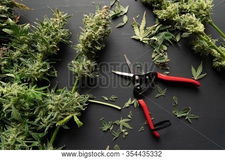 The Sugar Leaves On Buds. Harvest Weed Time Has Come. Mans Hands Trimming Marijuana Bud. Growers Tri