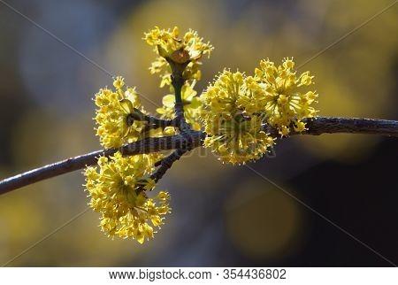 Branches With Flowers Of European Cornel (cornus Mas) In Early Spring. Cornelian Cherry, European Co