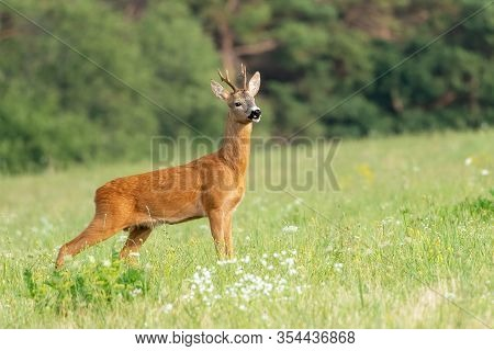 European Western Roe Deer (capreolus Capreolus). Except For Central And Sound Europe Lives Mostly In