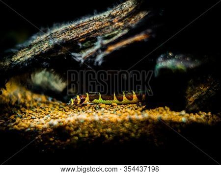 Kuhli Loach (pangio Kuhlii) In A Fish Tank With Blurred Background