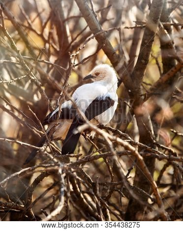 Southern Pied Babbler, in the bush in Botswana
