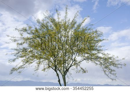 Palo Verde Tree In Bloom With A Partially Cloudy Sky