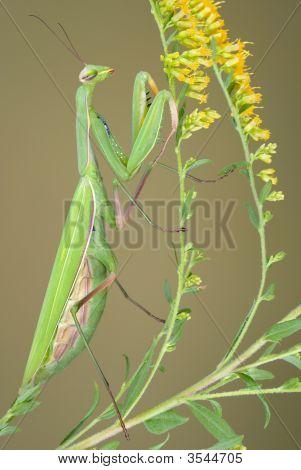 Praying Mantis On Goldenrod