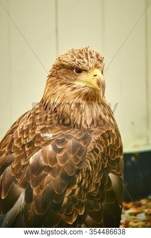 Brown Eagle In Captivity Closeup. Birds Of Pray Vertical Shoot. Reintroduction Program