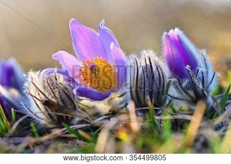 Spring Background With Flowers In Meadow. Pasque Flower (pulsatilla Grandis)