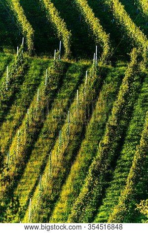 Rows Of Vineyard Grape Vines. Autumn Landscape With Colorful Vineyards. Grape Vineyards Of Austria S