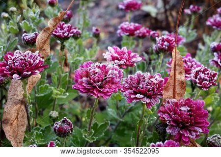 Purple Chrysanthemum . Autumn Blooming Flowers Are Covered With Morning Frost. Plant In The Autumn G