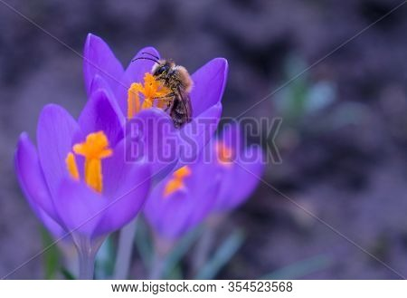 A Bee Collects Pollen On A Purple Crocus Flower. Blurred Background