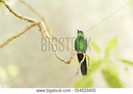 Male Hummingbird Violet-capped Woodnymph, Thalurania Glaucopis, Standing On A Tree Branch. Frontal V