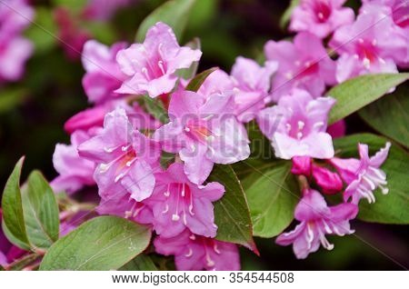 Beautiful Pink Flowers Weigela Florida. Flowers Of Weigela Florida. Blooming Garden In Spring Garden