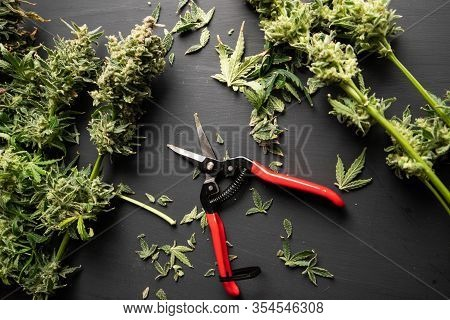 Growers Trim Cannabis Buds. Trim Before Drying. Growers Trim Their Pot Buds Before Drying.