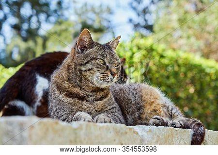 Cute Tabby Cat. Tabby Cat Lying Outdoor. Gray Street Striped Kitten Outside. Adorable Small Cat. Gra