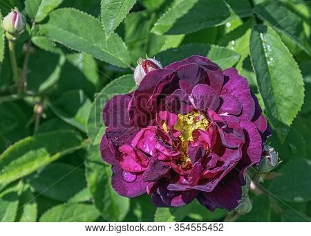 Rosa Gallica Officinalis Known As Gallic, French Or Apothecarys Rose, Rose Of Provins And Red Rose O