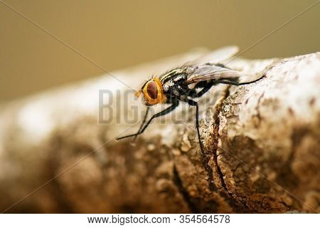 Australian Bush Fly Also Known As The Musca Vetustissima.