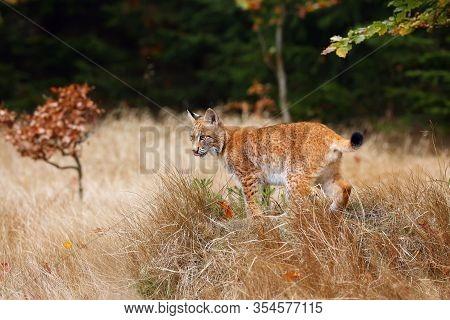 The Eurasian Lynx (lynx Lynx), Also Known As The European Or Siberian Lynx In Autumn Colors.