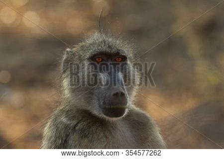 The Detail Of Face Of Chacma Baboon (papio Ursinus) Or Cape Baboon With Brown Background