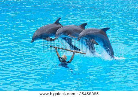 Three Bottlenose Dolphins, Tursiops Truncatus,