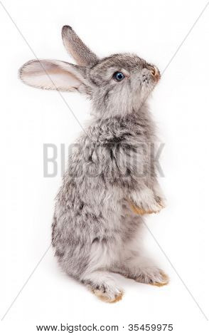 rabbit isolated on white background