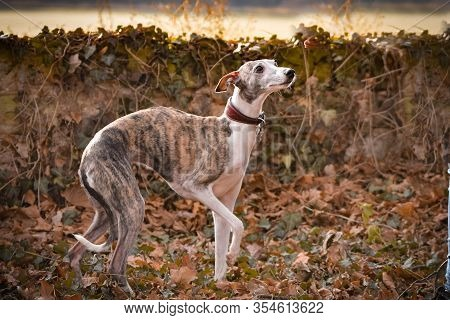 Jung Female Of Whippet Is Running With Ball To Us. She Is So Active Dog, She Loves Ball And Plying O
