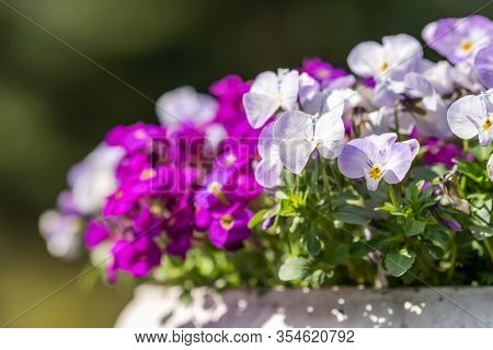 Beautiful viola tricolor purple flowers blooming in flower pot close up