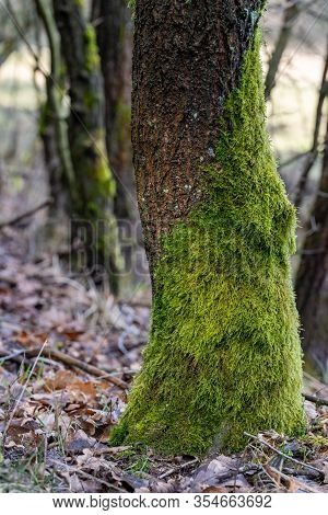 Mossy Deciduous Tree Trunk. Green Moss Growing On The Bark Of A Tree.