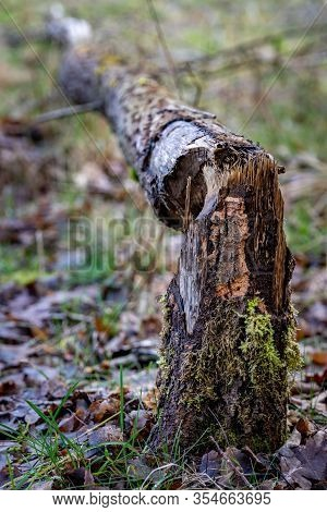 A Large Tree Felled By Beavers. Old Dry Tree Trunk On The Shore Of The Lake.
