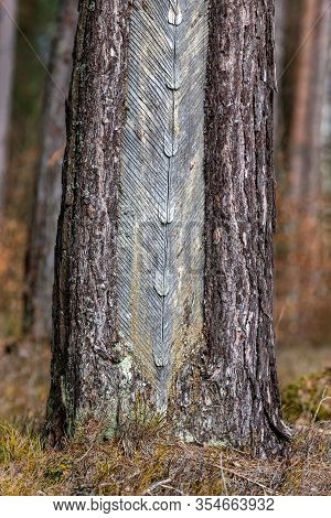Traces Of Resinizing On The Coniferous Bark. Damaged Tree Bark When Resin Is Obtained.
