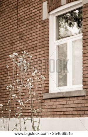 White Blooming Plant Growing In Front Of The Window Of A Brick House. Spring In The City.