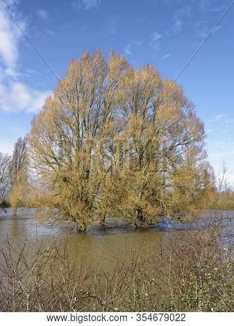 Late Winter Willow Trees In Flood Water, Alney Island, Gloucester, Gloucestershire, Uk