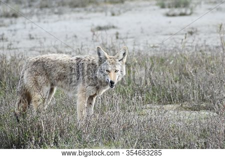 Coyote Looking For Food In Wetlands In Northern California