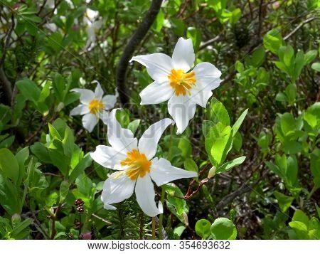 Close Up Of A Trio Of Avalanche Lily Flowers At Mt Baker