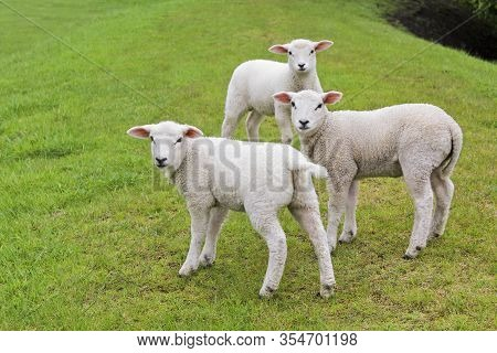 Three Cute White Sheep On Green Meadow And Lawn. Niedersachsen, Germany.