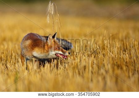 Red Fox (vulpes Vulpes) On Freshly Mown Stubble With Caught Rodent. Red Fox With Prey In Teeth. Fox
