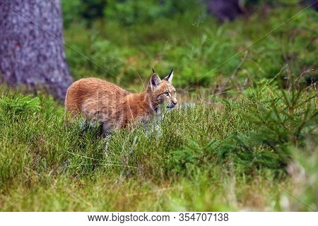 The Eurasian Lynx (lynx Lynx), Also Known As The European Lynx Or Siberian Lynx In Autumn Colors.you