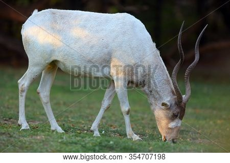 The Addax (addax Nasomaculatus), Also Known As The White Antelope And The Screwhorn Antelope Walked