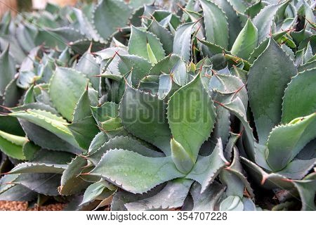 Abstract Background In Agave Leaves Style.  Green Nature - Agave Tequilana, Green Agave Or Tequila A