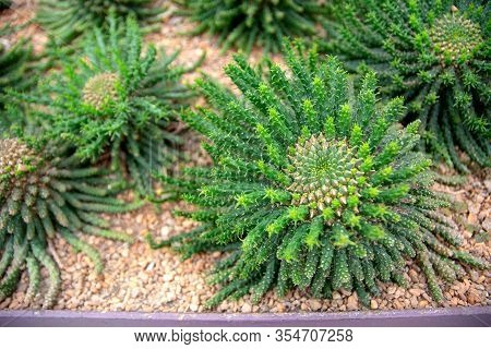 Top View Of Branch Of Araucaria Araucana, Monkey Tail Tree, Or Chilean Pine With Copy Space Of Defoc