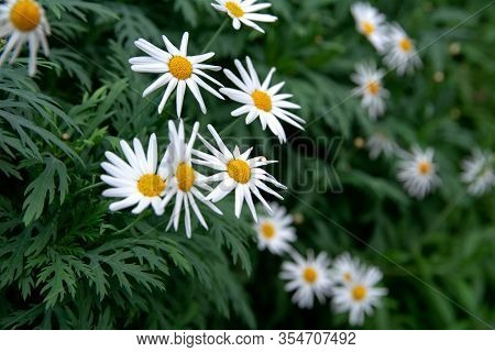 Close-up View Of Flowering Of Daisies. Oxeye Daisy, Leucanthemum Vulgare, Daisies, Dox-eye, Common D
