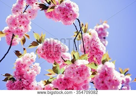 Cherry Blossom. Beautiful Floral Spring Abstract Background Of Nature. Branches Of Blossoming Aprico