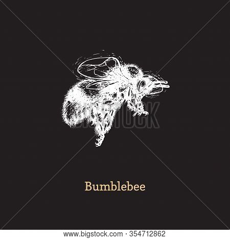 Bumblebee In Flight, Vector Illustration On Black Background. Hand Drawn Sketch Of Insect In Vintage