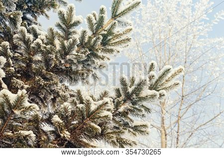 Snow Covered Spruce Branch Covered With Snow Against The Winter Blue Sky. Green Fur Tree Close Up Sh