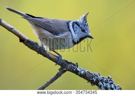 European Crested Tit (lophophanes Cristatus) Side View Posing On An Little Lichen Covered Branch In