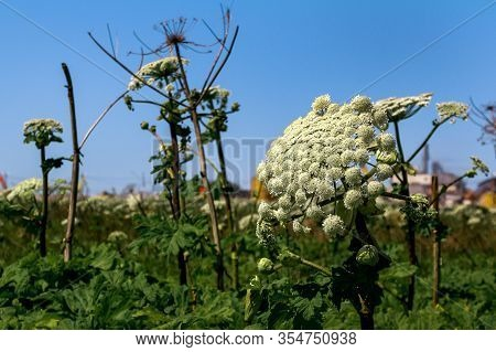 Giant Hogweed Plant Giant Hogweed Sosnowski, Growing In Field, Heracleum Manteggazzianum
