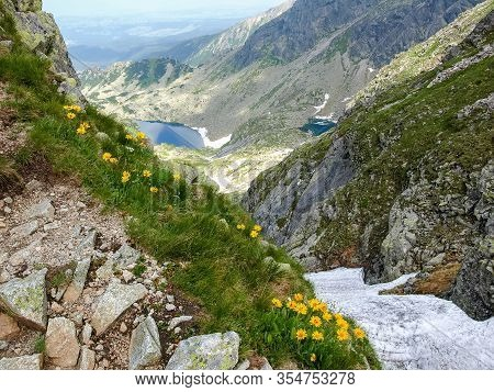 Flowering Arnica Montana Also Known As Mountain Tobacco Or Mountain Arnica Growing On Steep Slope Ag