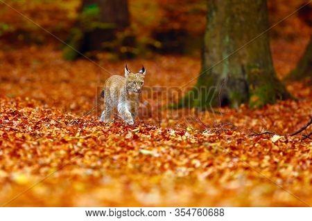 The Eurasian Lynx (lynx Lynx), Also Known As The European Lynx Or Siberian Lynx In Autumn Colors.