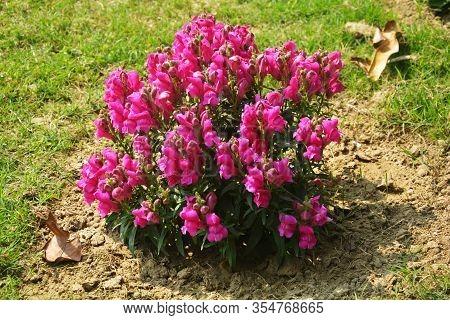 Close Up Of Best Annual Flowers, Antirrhinum Majus,  Flowers, Commom Snapdragon Flowering Plants Gro