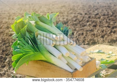 Freshly Picked Leek In Box. Harvest. Harvesting. Agriculture And Farming. Agribusiness. Agro Industr