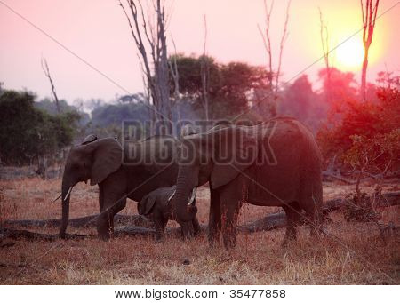 elephant at sunset in South Luangwa National Park zambia