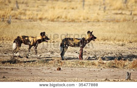 Lycaon pictus african wild dogs in luangwa national park zambia