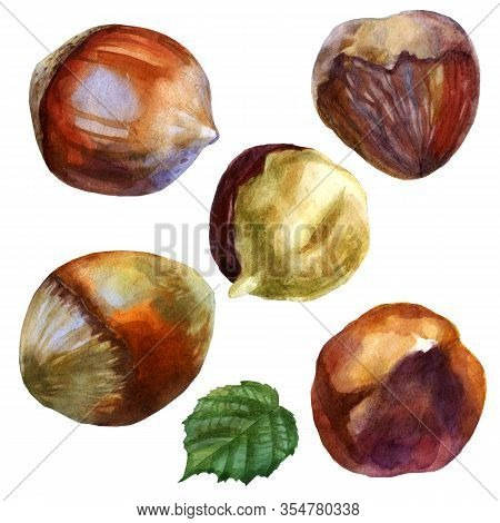 Watercolor Illustration. Hazelnut. Inshell Hazelnuts, Peeled Hazelnuts Hazelnuts In Husk